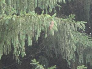 Rain glistening in the pines...