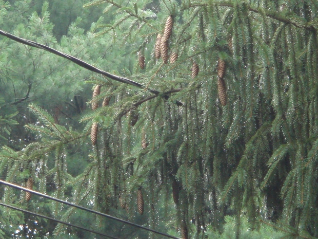 More rain in the pines
